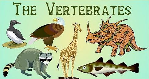 Kingdom Animalia Vertebrata