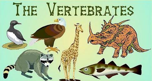 Kingdom Animalia Vertebrata