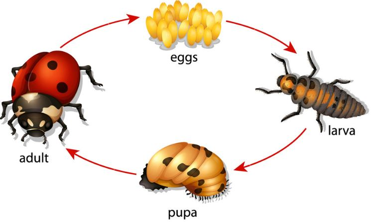 Metamorfosis Tidak Sempurna Kepik Kumbang