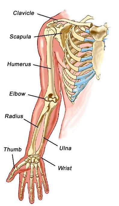 Fungsi Tulang Atas